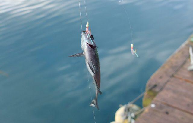 大浜釣り公園でアジのサビキ釣りに挑戦してみよう